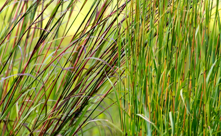 Little Bluestem (red & yellow vars.)