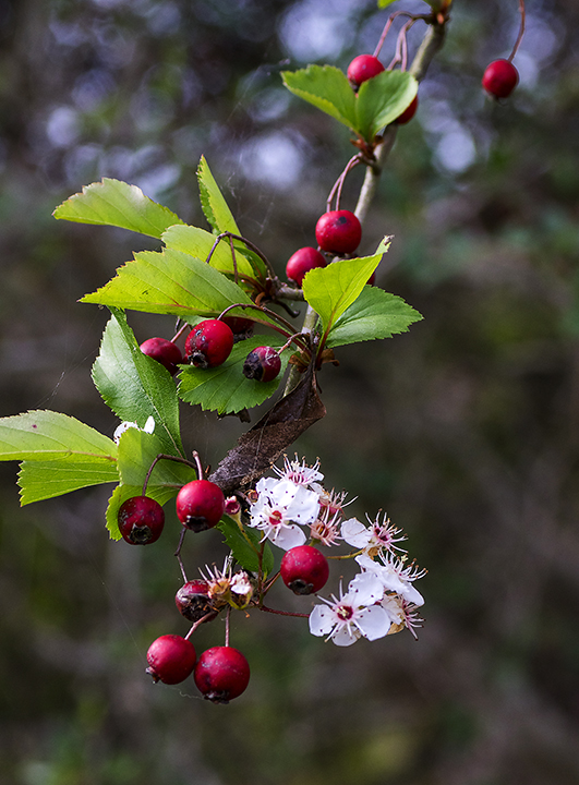 Green Hawthorn (Crataegus viridis)