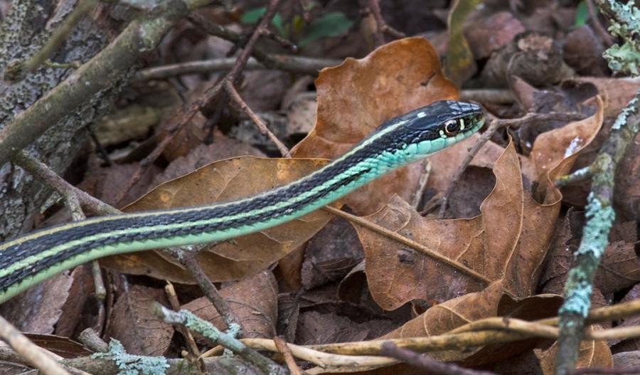 Western Ribbon Snake (Thamnophis proximus)