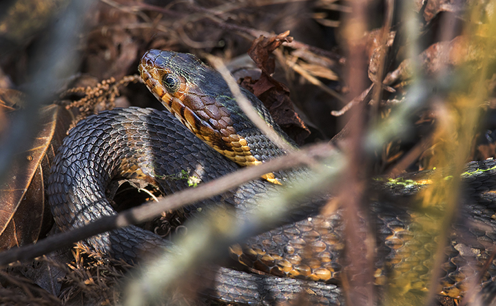 Broad-banded Water Snake (Nerodia fasciata confluens)