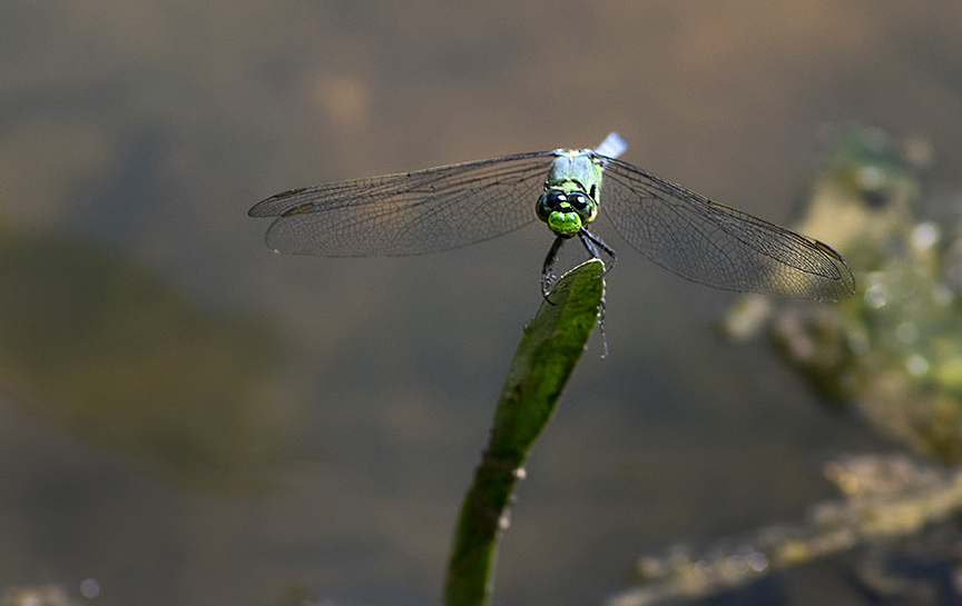 Eastern Pondhawk (Erythemis simplicicolis)