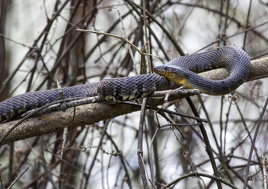 Mississippi Green Water Snake (Nerodia cyclopion)