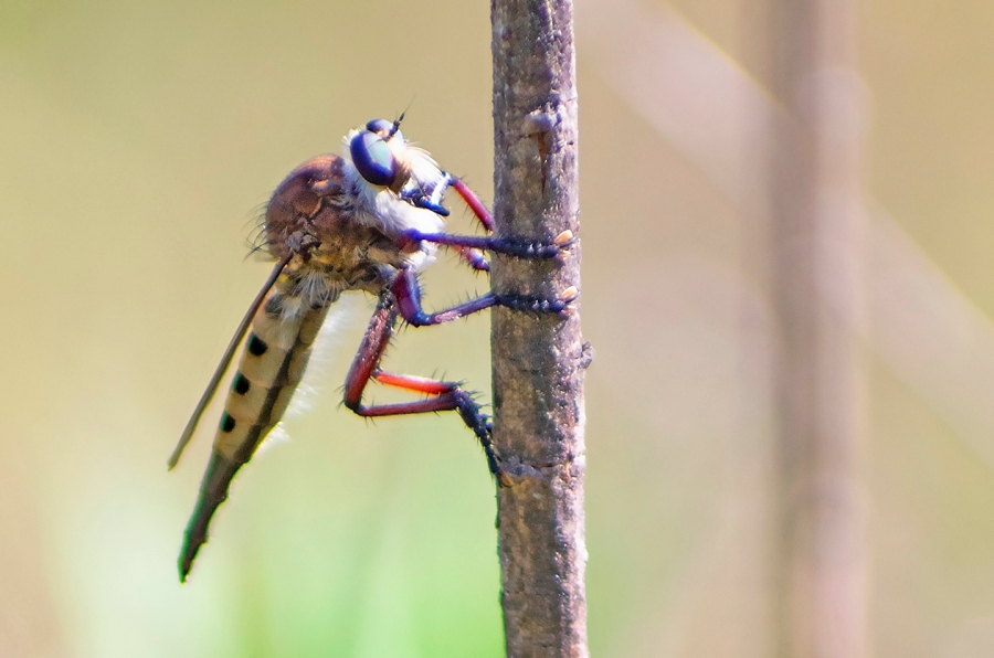 Indiana Robber Fly (Promachus hinei) (female