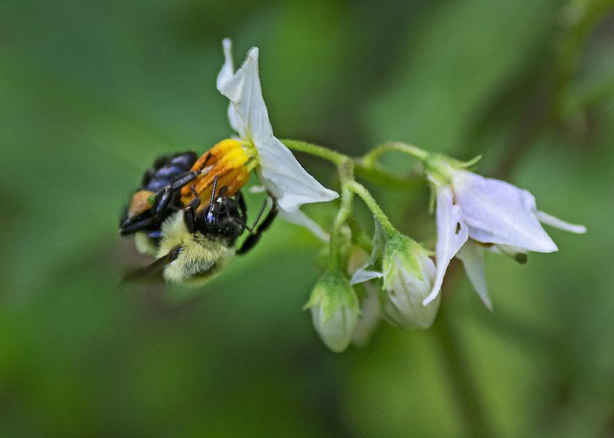 Horse Nettle (Solanum carolinense) w bee
