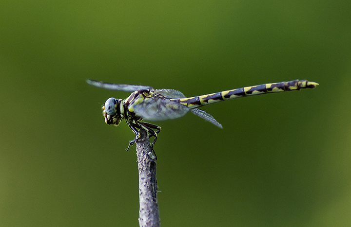 Common Sanddragon (Progomphus obscurus) (male)