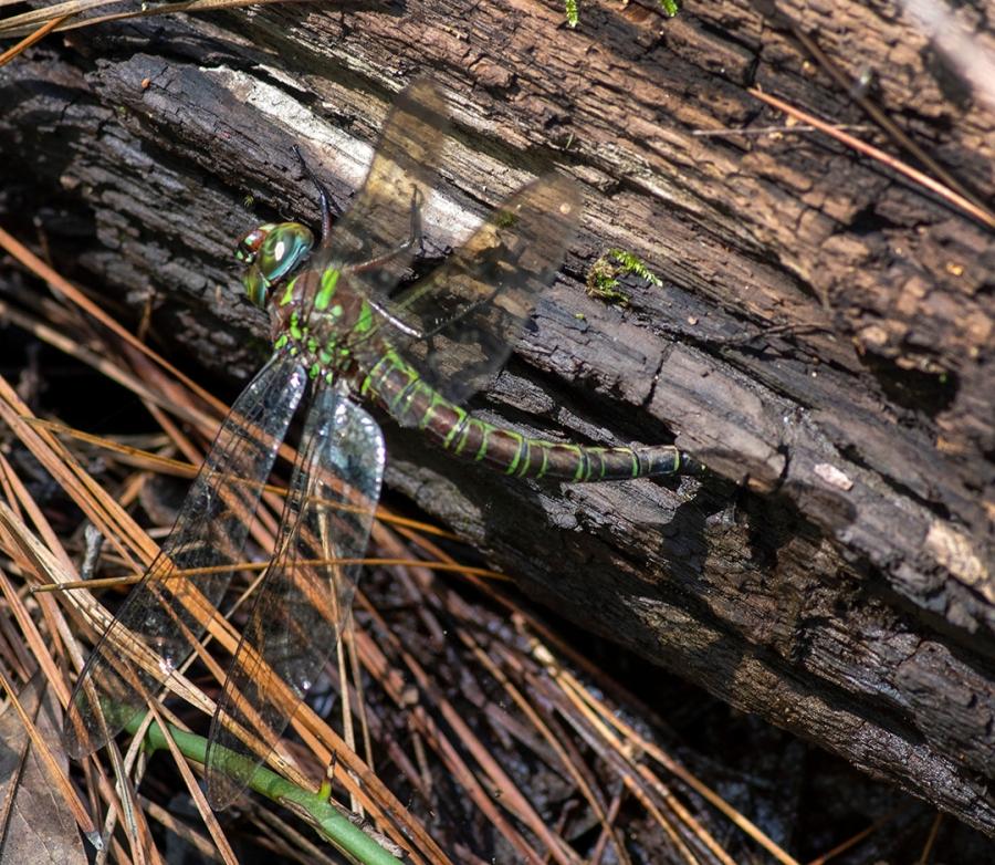Swamp Darner (Epiaeschna heros) (female)