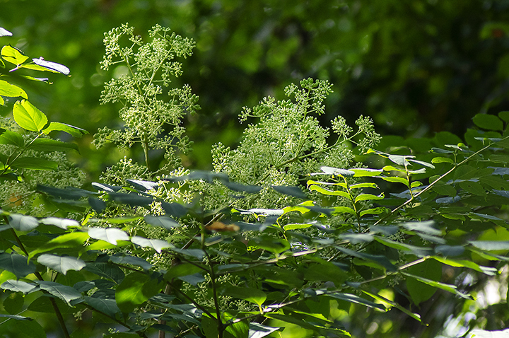 Devil's Walkingstick (Aralia spinosa)