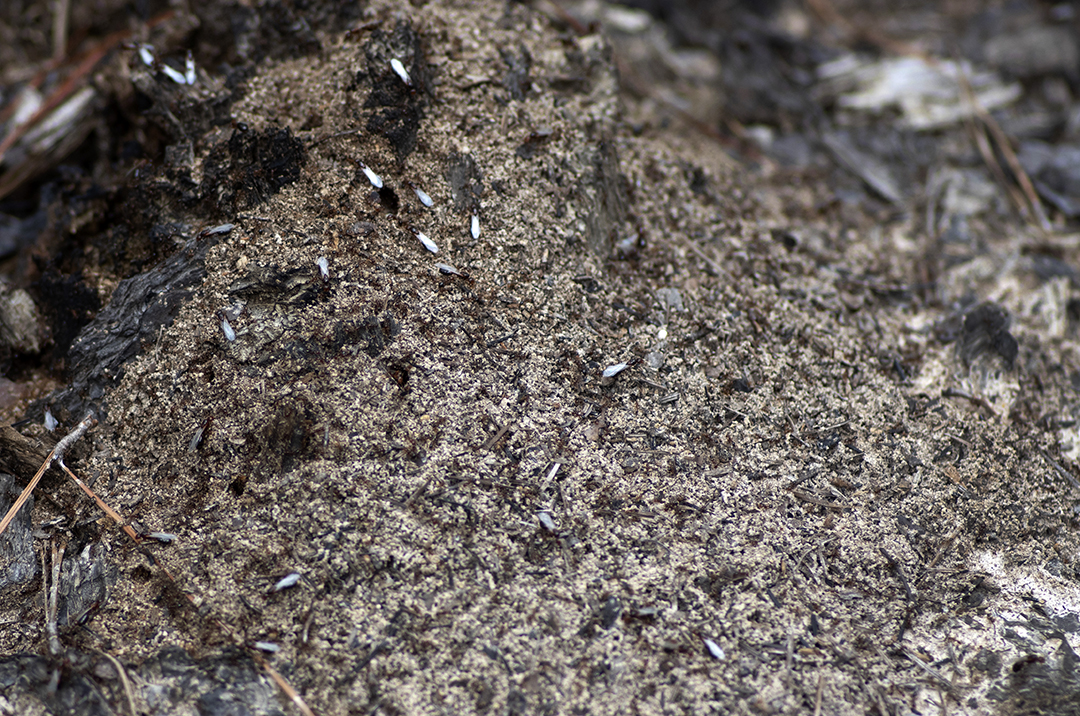 Swarming Fire Ants